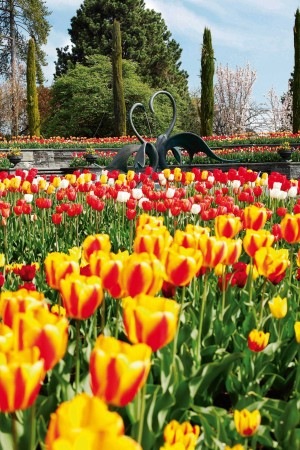 Tulips in bloom in the fountain arena