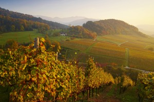 An autumnal atmosphere at the Black Forest vineyards