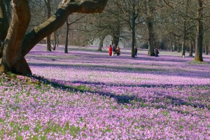 Husum, North Friesland: 4 million crocus flowers in the castle grounds