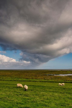Cheese Route - Sheep along the coast of Schleswig-Holstein
