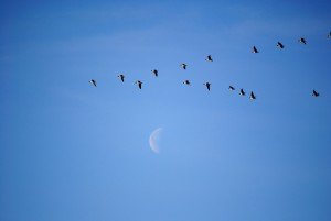A flock of white-fronted geese and bean geese flying in a V-formation against a waning moon.