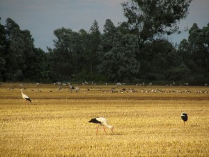 The picture shows a field of yellow stubble in late summer. Three storks foraging for food in the sunshine can be seen in the foreground while cranes and grey geese rest in front of copses.