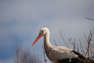 A white stork sitting on its nest