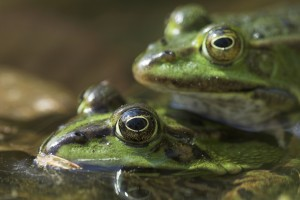Green frogs mating