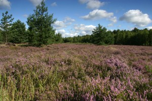 Heather near Dauban
