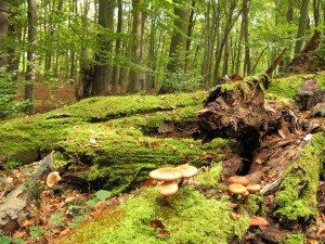 In Grumsin Forest, Germany's Ancient Beech Forests world natural heritage site