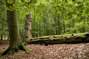 Ancient beech forests can still be found all over the biosphere reserve