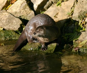 Otter on a river bank