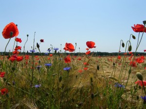 Colourful field border with poppies and cornflowers near Vilmnitz