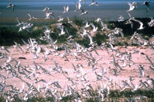Sandwich terns on Scharhörn Island