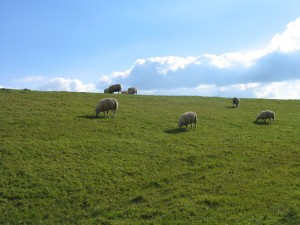 Sheep grazing on the dyke