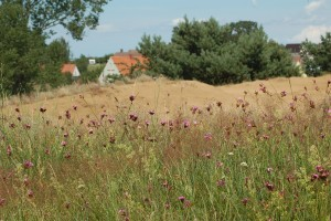 Carthusian pinks blooming on the Altwarp inland dunes