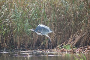 A grey heron takes off on the river Uecker