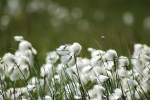Close-up of cotton grass