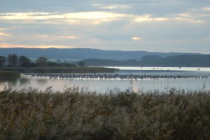 View of a crane roost on Lake Galenbeck