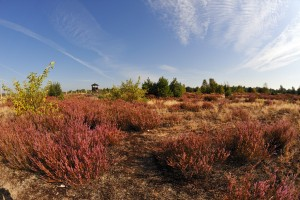 View of Schönow Heath with the heather in bloom on a warm summer day
