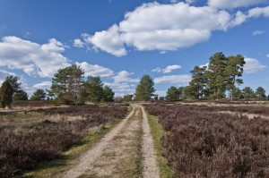 A sandy path through the heath with patches of heather on both sides and solitary pines and juniper bushes in the background. A sunny day.