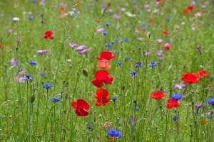 Wild flower meadows in bloom attract a variety of bees