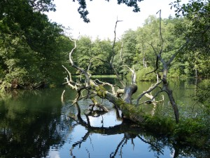 A fallen oak in the water of the Diana Pools in Hafenlohrtal valley
