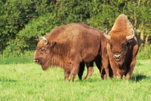 Bison in Hardehausen reserve