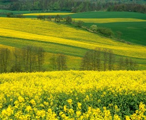 Rapeseed field on the edge of the Odenwald mountains
