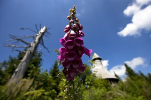 Black Forest, foxglove