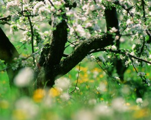 Altes Land region, flowering of trees