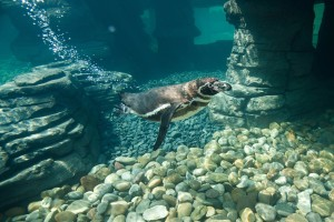 "One of the Humboldt penguins while ""flying"" underwater"
