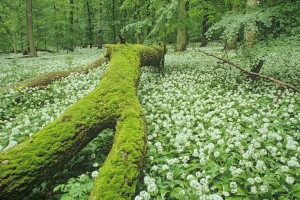 Wild garlic in Hainich National Park