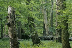 Ancient woodland in Hainich National Park