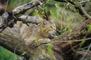 Wildcats - the secret inhabitants of Hainich National Park